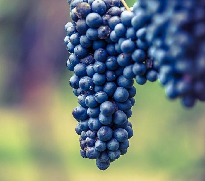 Lambrusco grapes