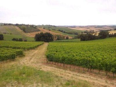 Marche's vineyards