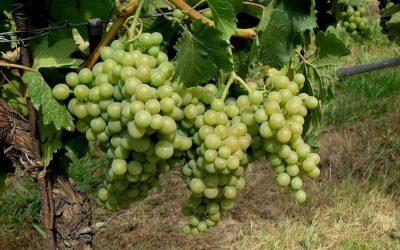 Wine stories: Vermentino dei Colli di Luni. The best labels according to Vini d'Italia 2018