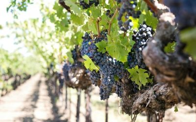 Grape harvests. Production dropping for South American countries