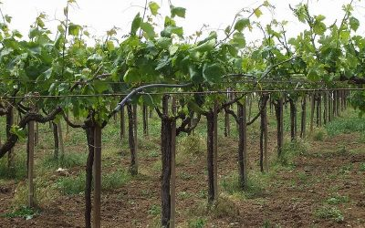 Lazio'ìs vineyards