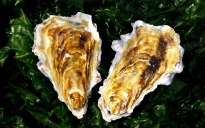 Find more about the Golden Oyster