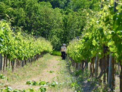 Find out more about the grape harvest 2021